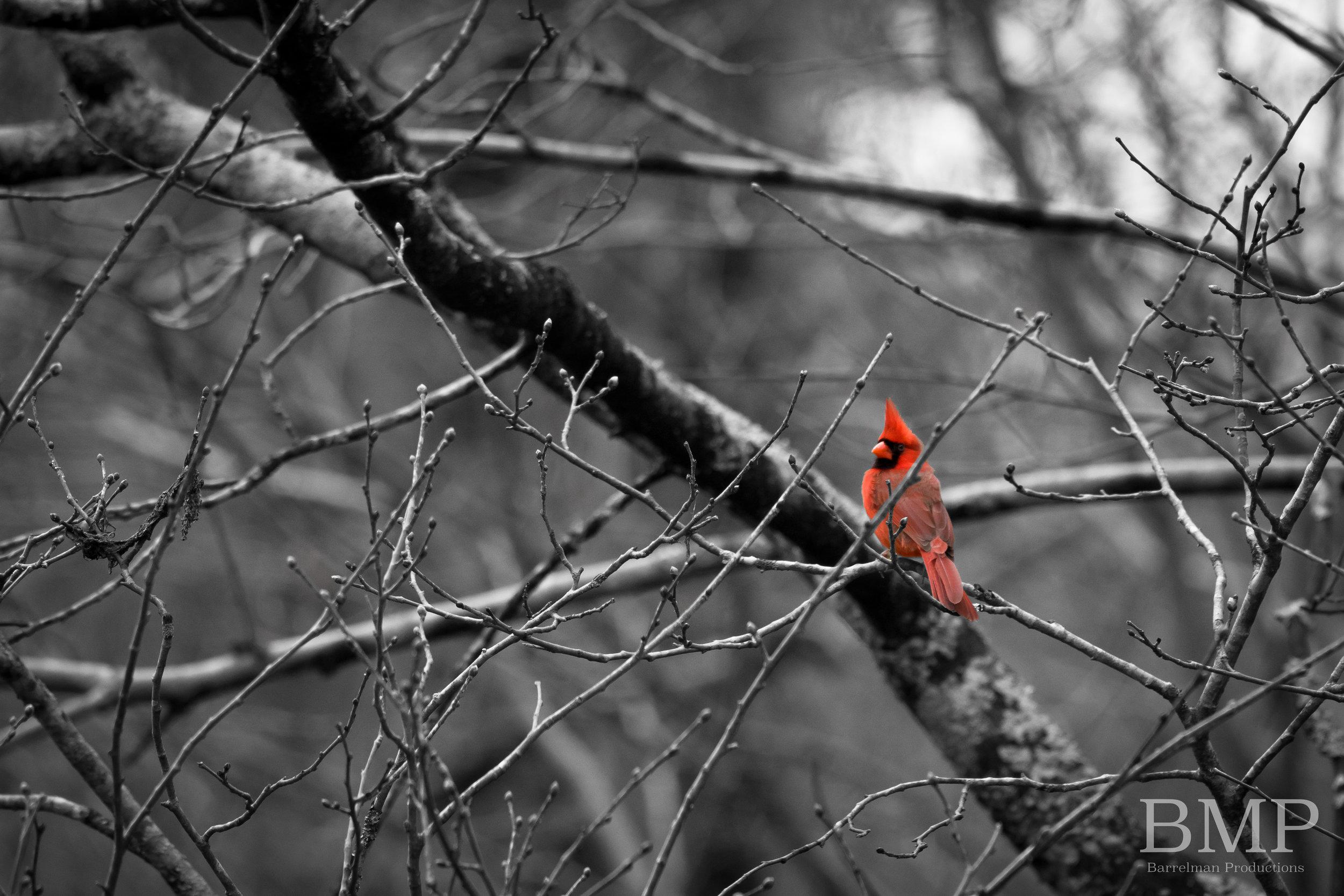 Cardinal - Athens, GA