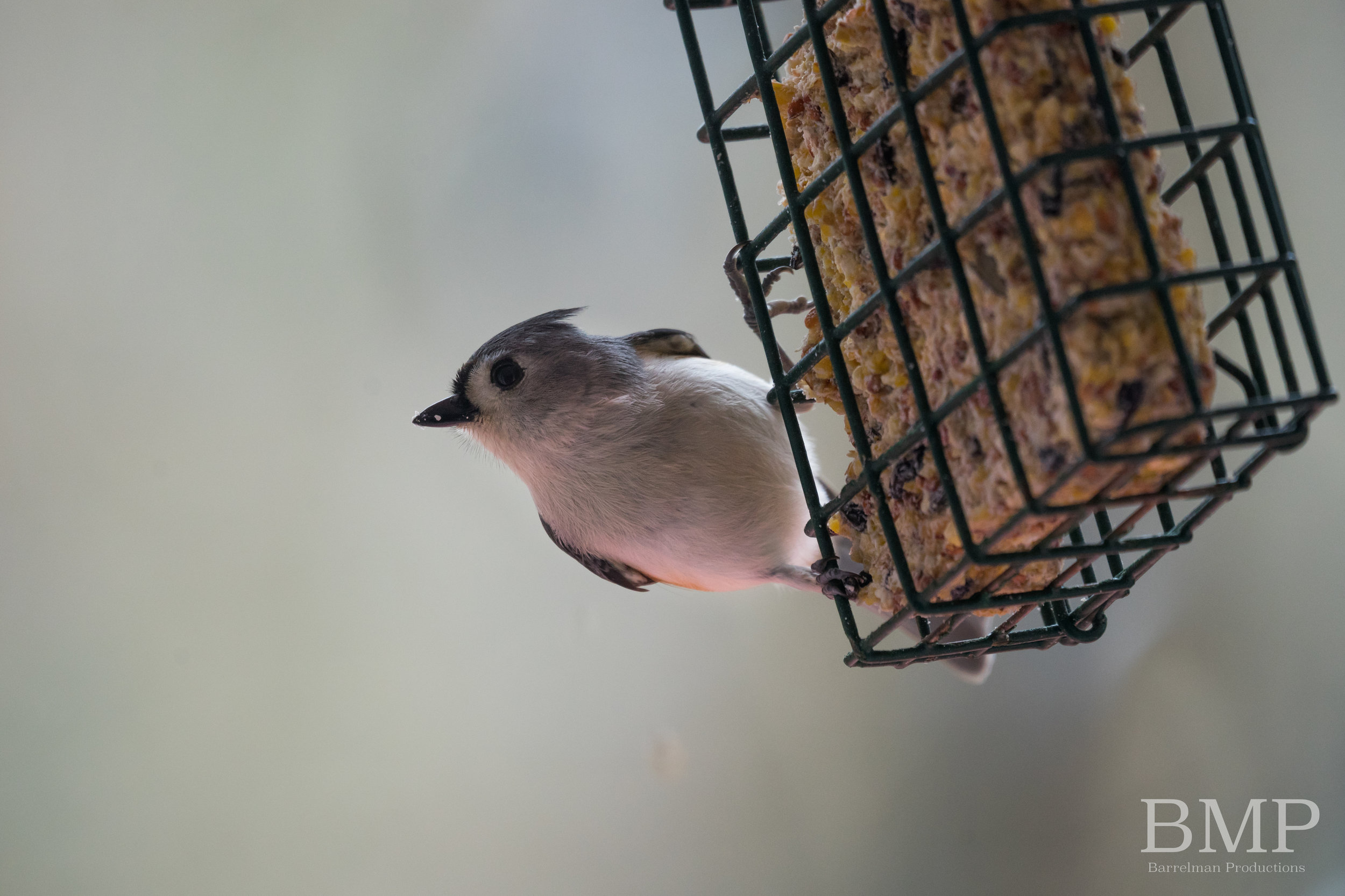 Tufted Titmouse - Athens, GA