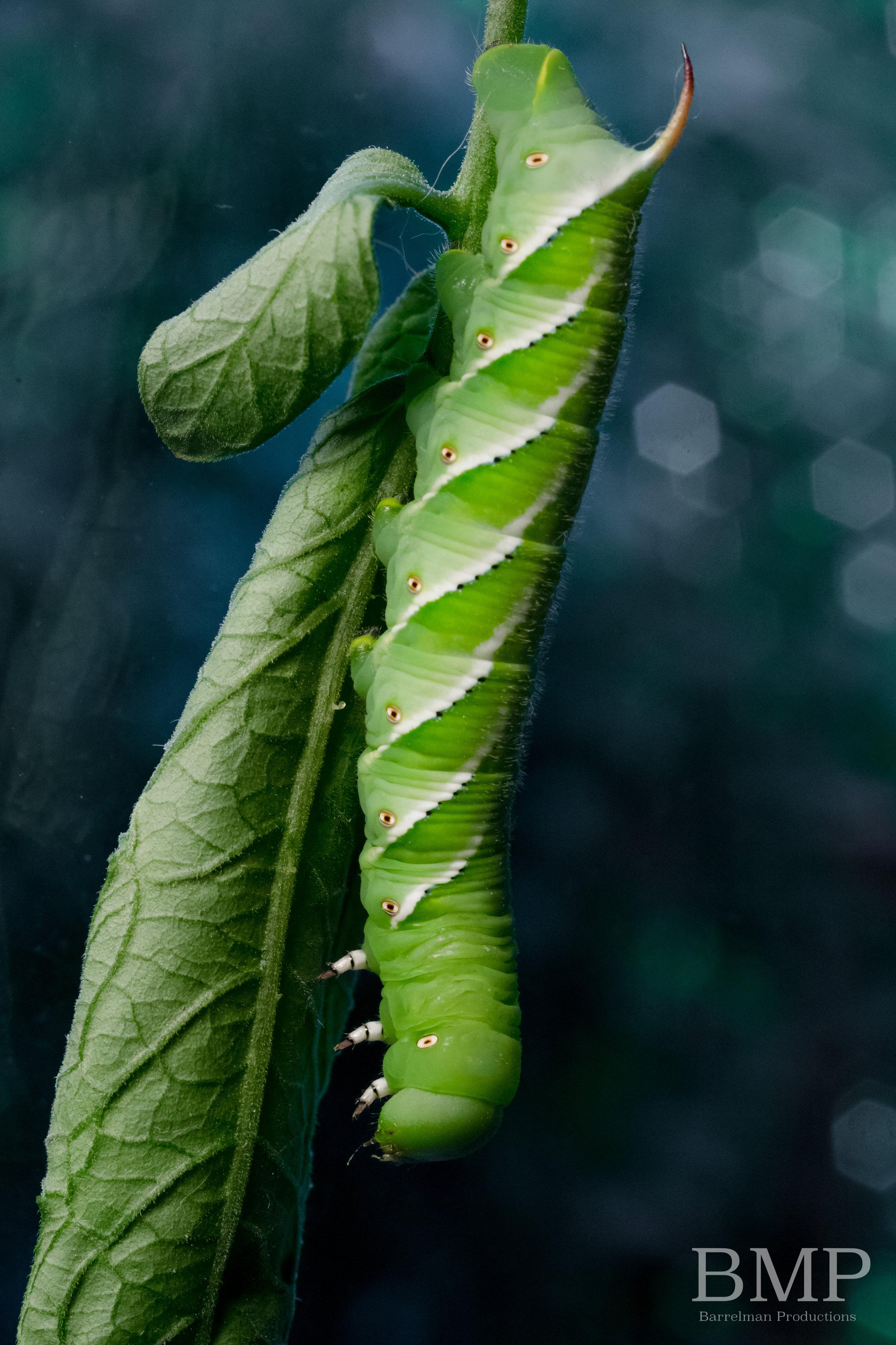 Tobacco Hornworm - Athens, GA