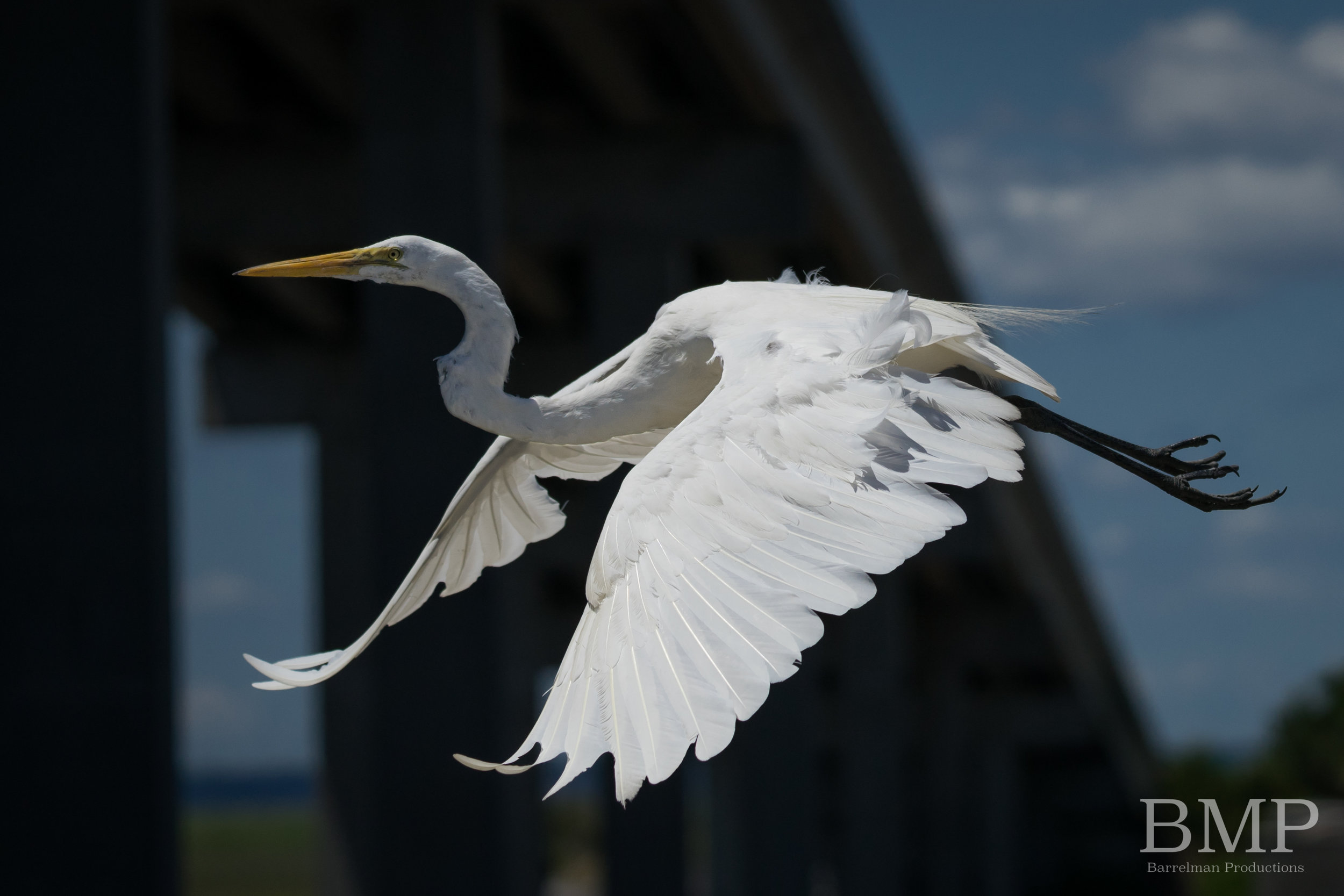 Great Egret in flight - Jekyll Island, GA