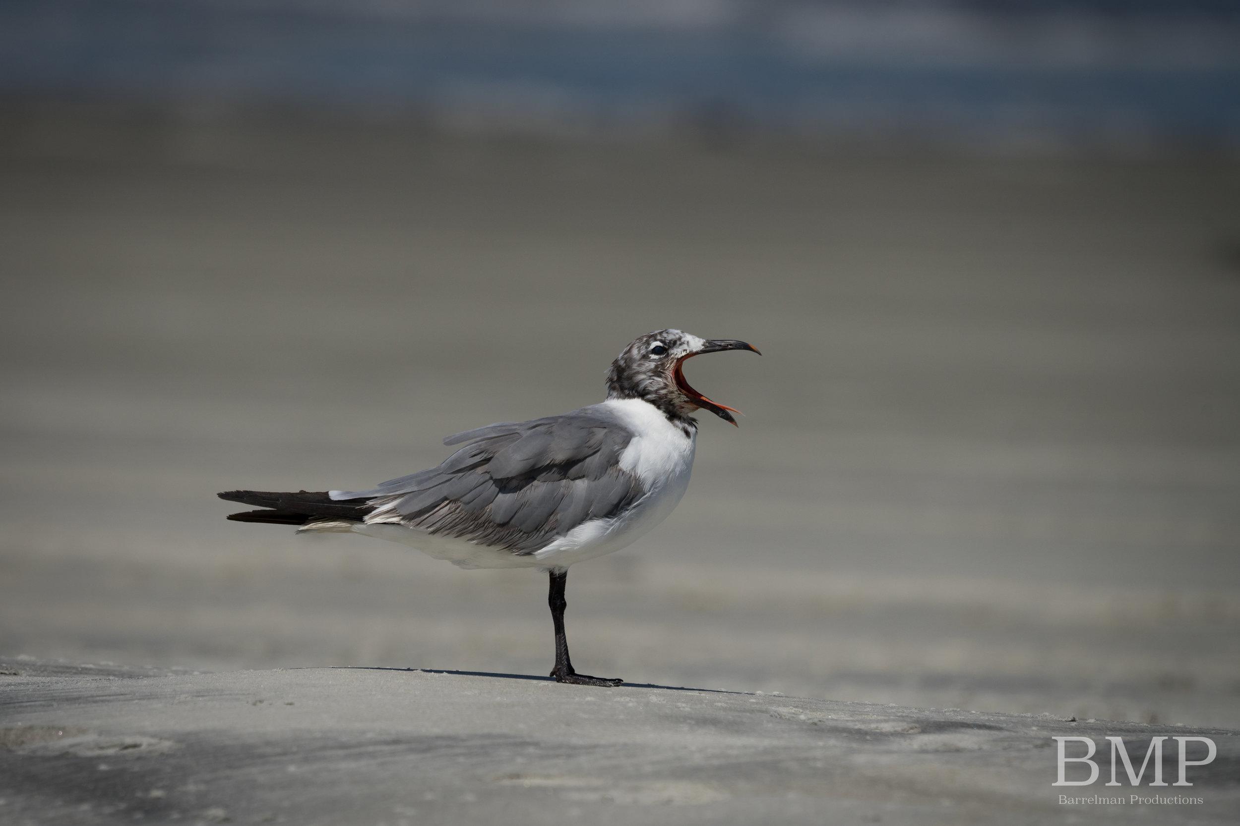 Yawning Gull - Jekyll Island, GA
