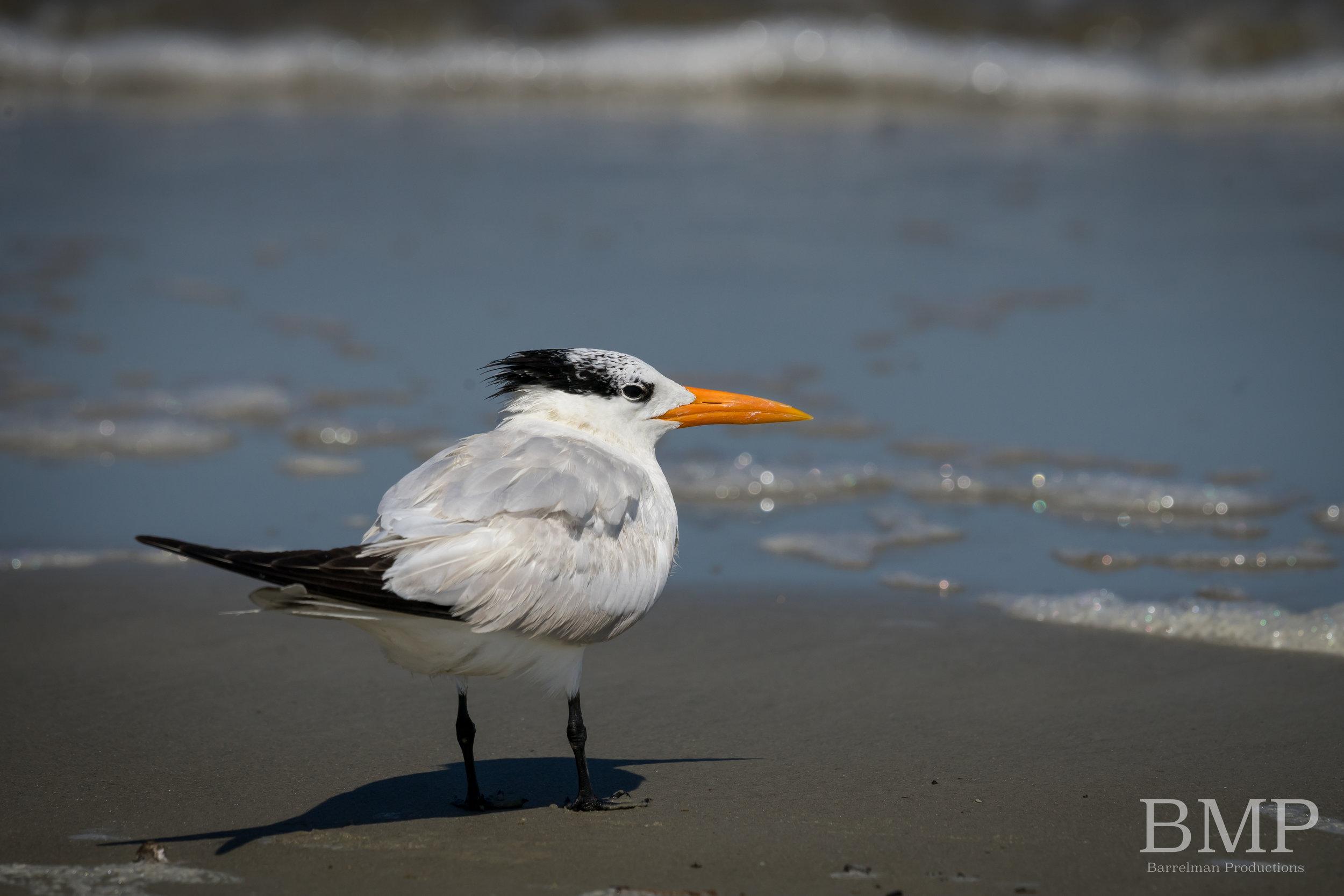 Royal Tern - Jekyll Island, GA