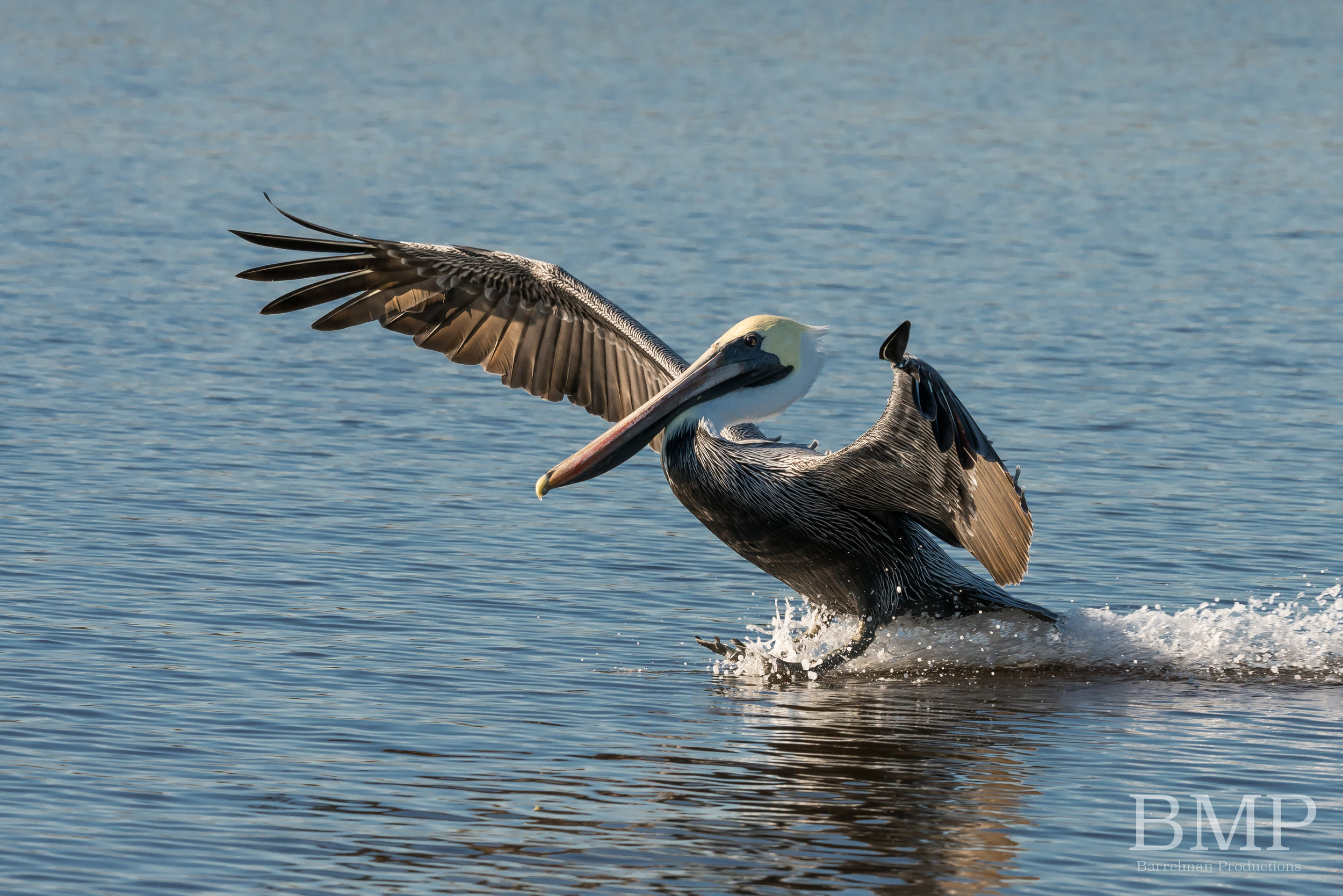 Brown Pelican - St. Catherines Island, GA