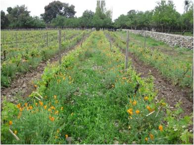 Antiyal's vineyard rows complete with natural pasture between the rows