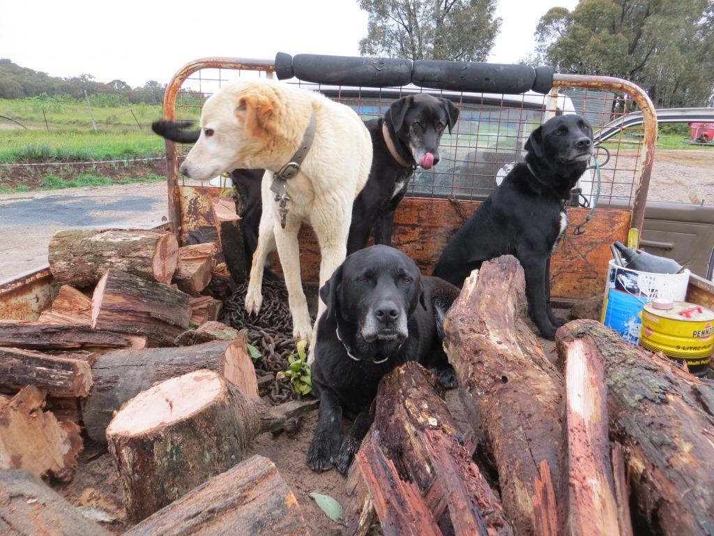 Vineyard Dogs