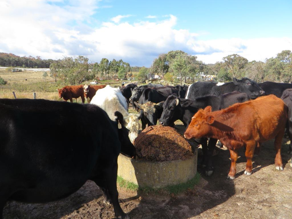 Our Cattle enjoying the left over Sweet Riesling Cake