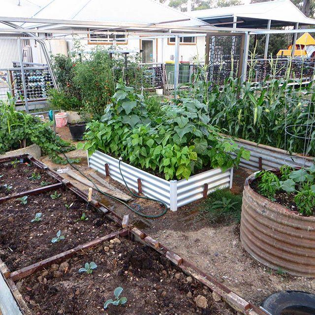 Summer organic veggies are looking tasty! #flyfairewinery #corn #tomatoes #veggiegarden#grapevines #summer #cellardoors #cellardoorveggiepatch #veggiepatch 🍅🌽🍇