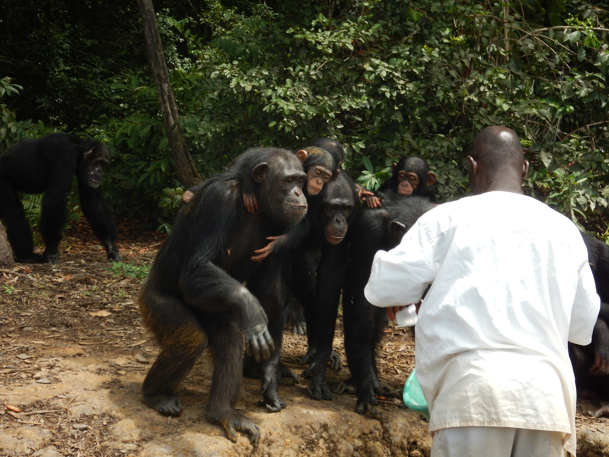 Chimpanzees crowding water's edge, thirsty for water. Credit: Agnes Souchal.