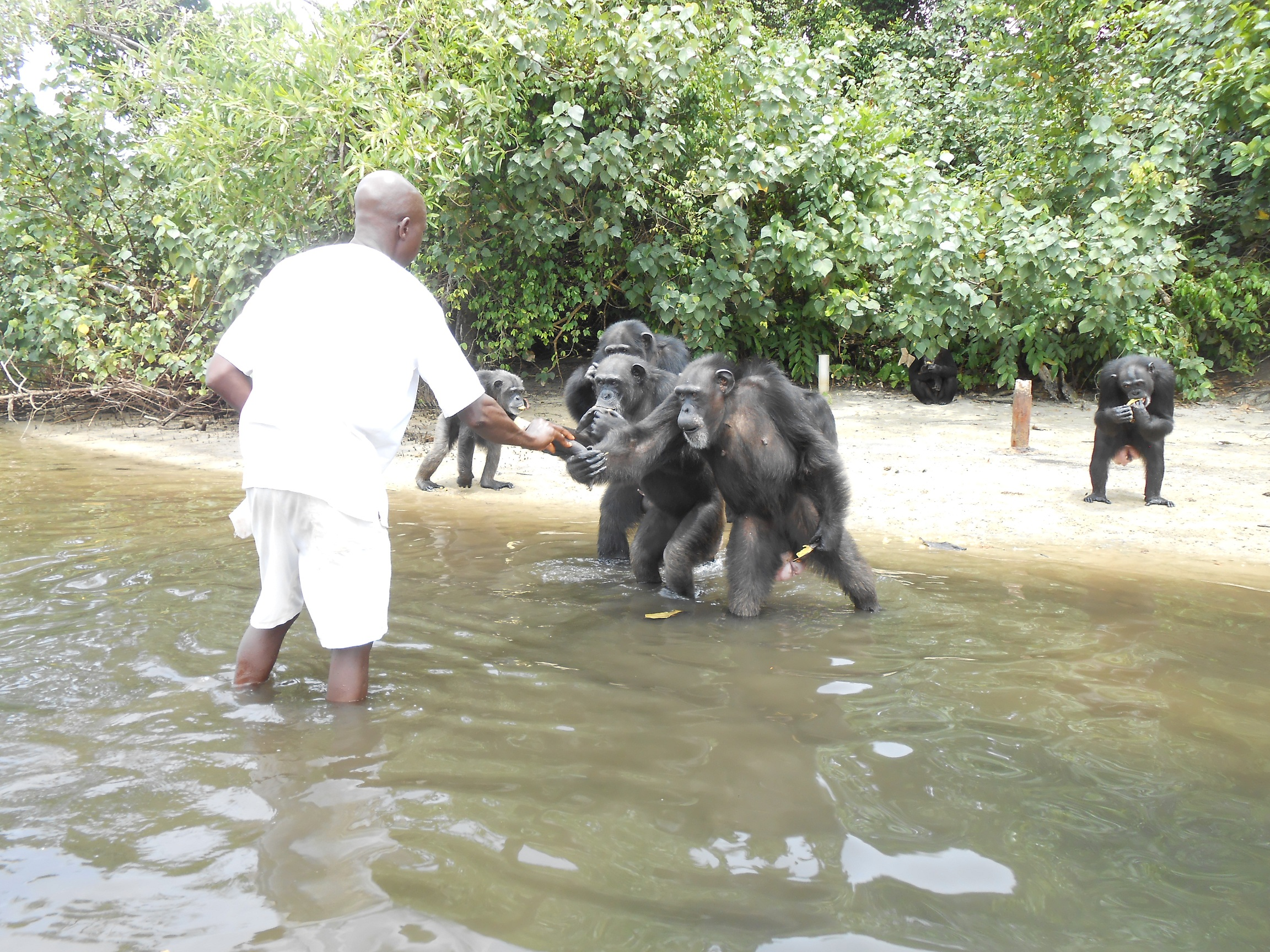 Ben hands out plantains to hungry chimpanzees. Source: Agnes Souchal.