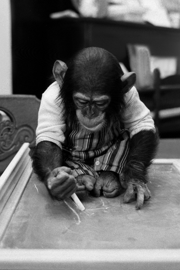 Nim Chimpsky writing with chalk. Photo credit: Harry Benson
