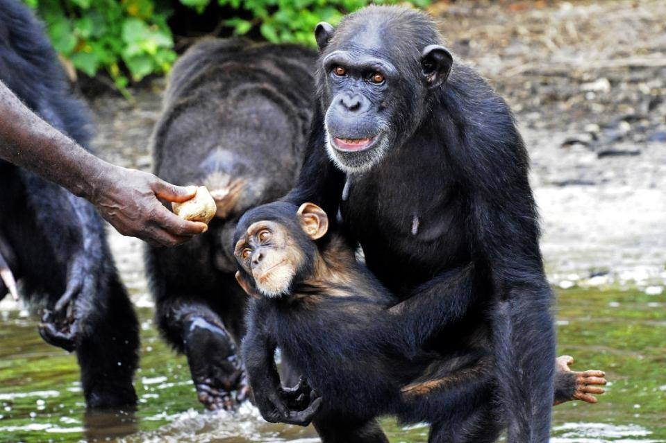Abandoned chimps on the island, being hand fed. Credit: Agnes Souchal.