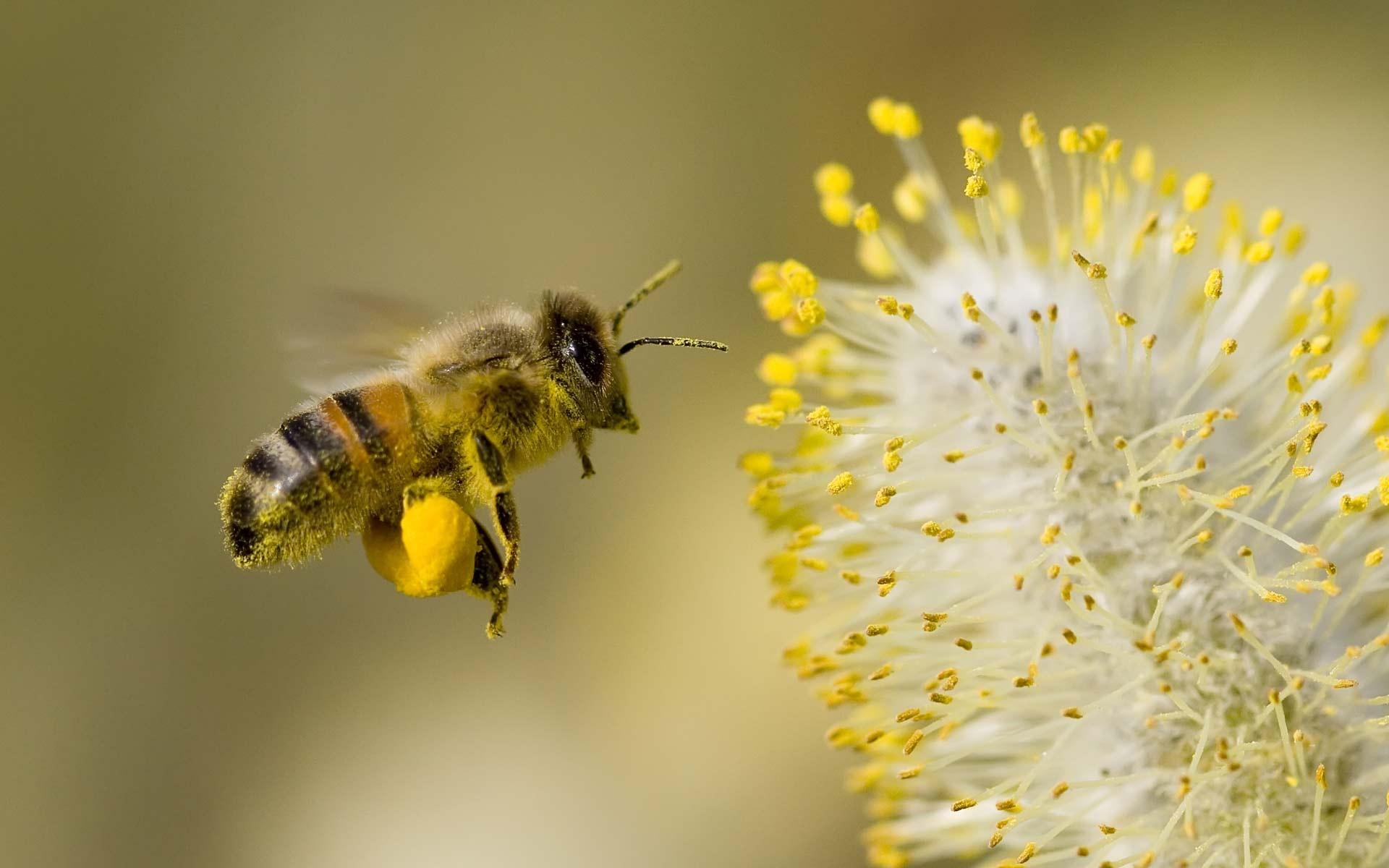 Honey-Bee-Flowers-Widescreen.jpg