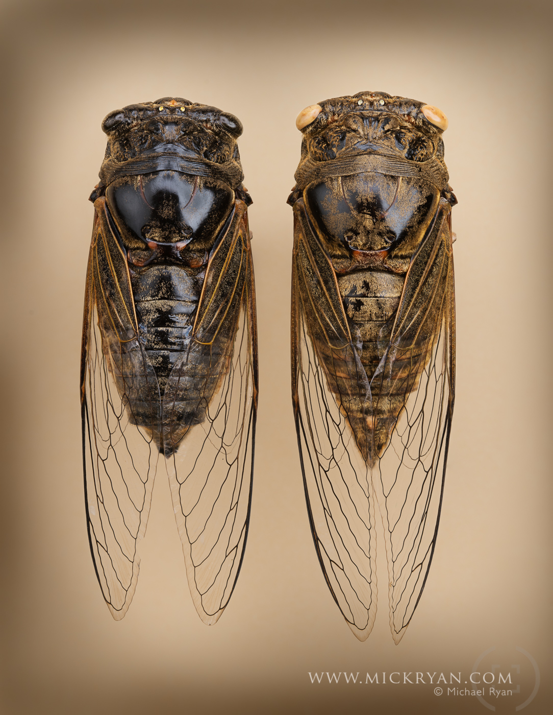 Cicada Portraits-1722-Edit.jpg