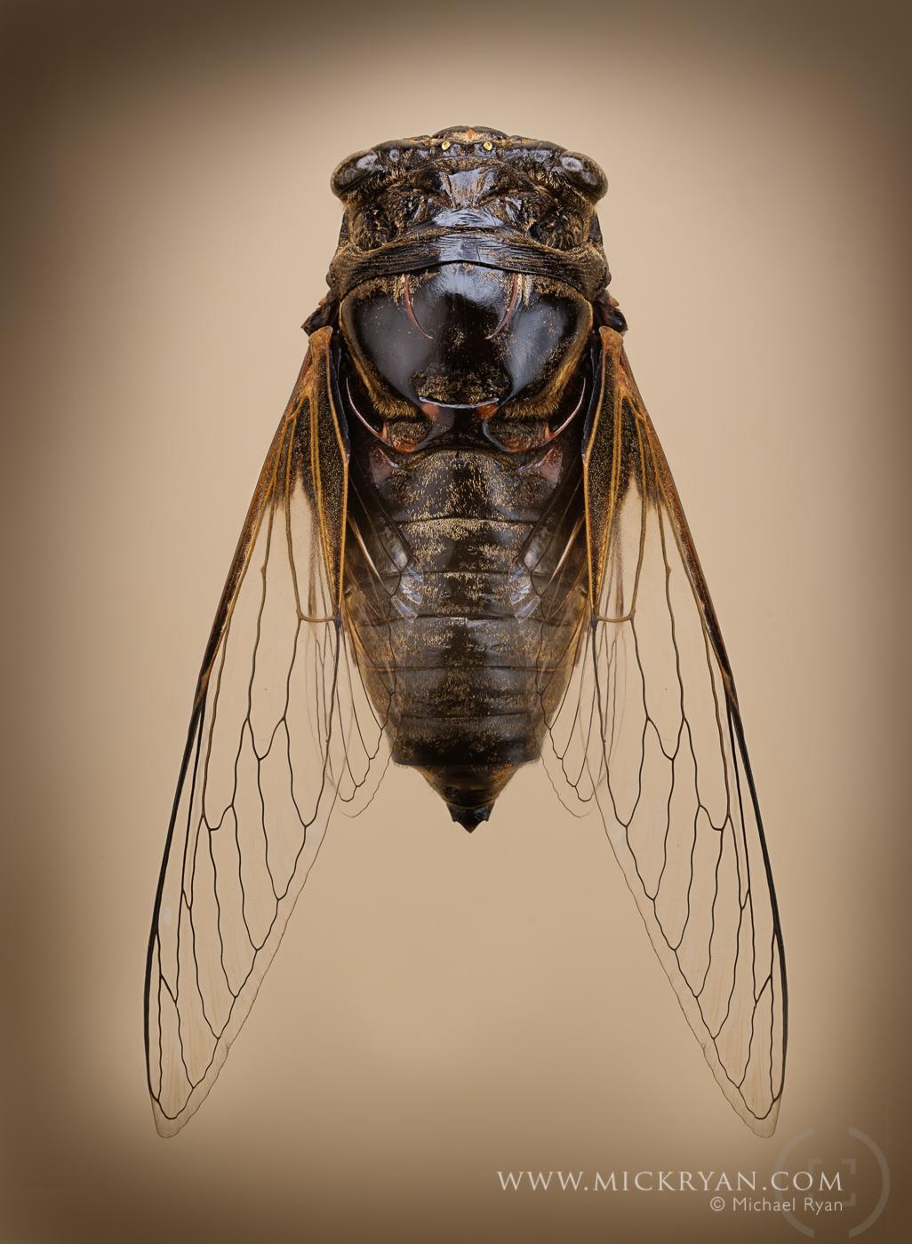 Cicada wings spread-3195-Edit.jpg