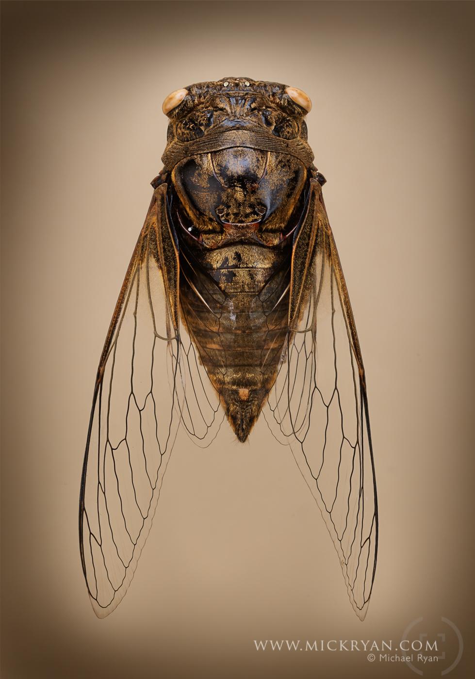Cicada wings spread-3203-Edit.jpg