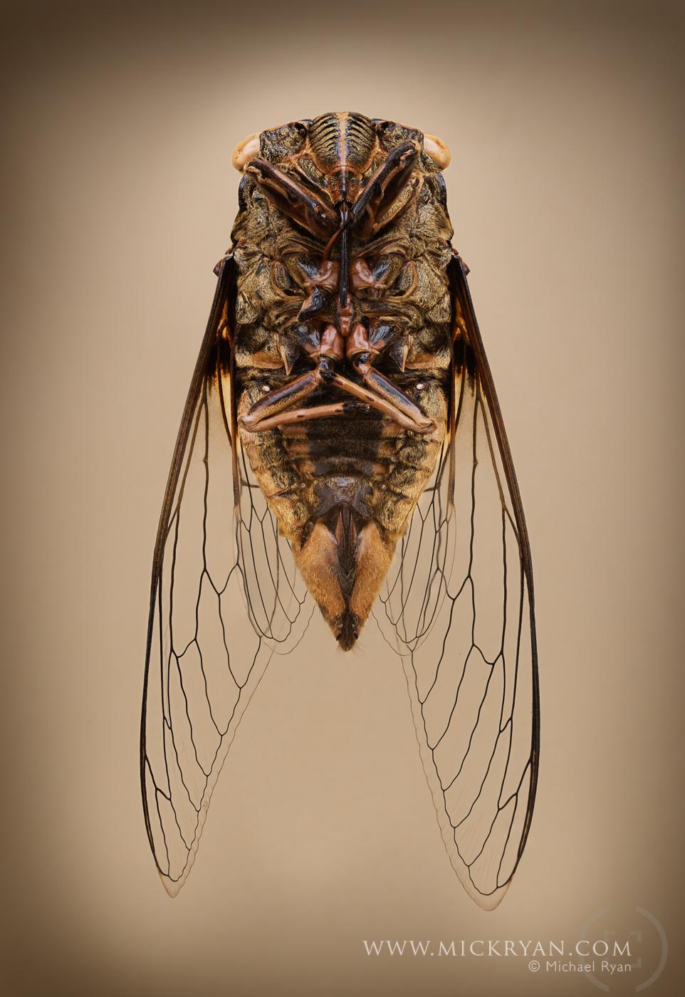 Cicada wings spread-3209-Edit.jpg