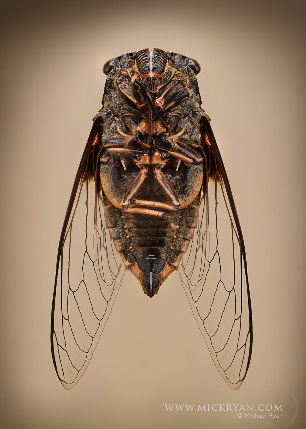 Cicada wings spread-3216-Edit.jpg