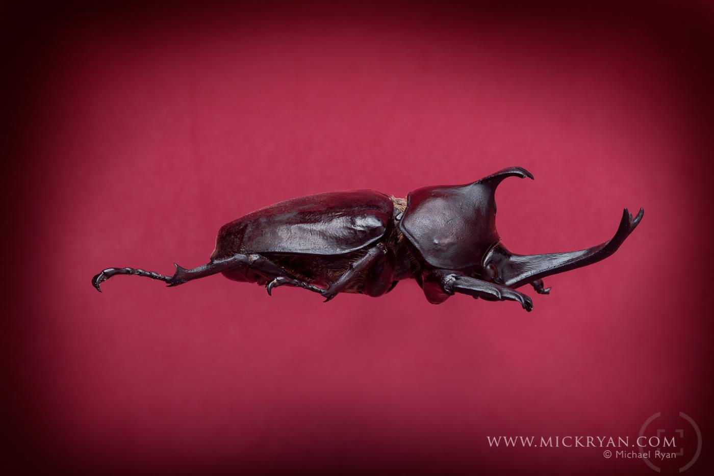 Unicorn beetle profile.