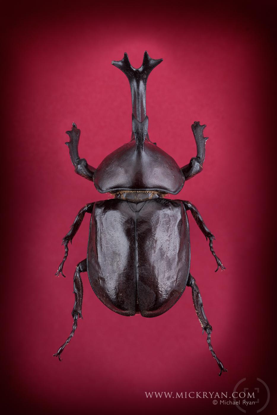Unicorn beetle top side.