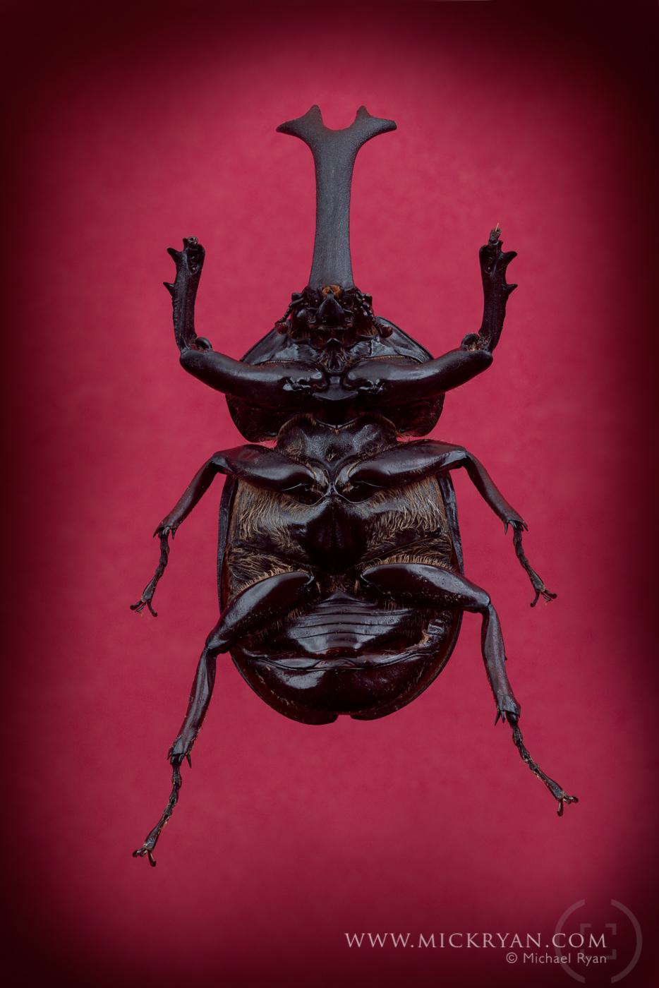 Unicorn beetle underside.