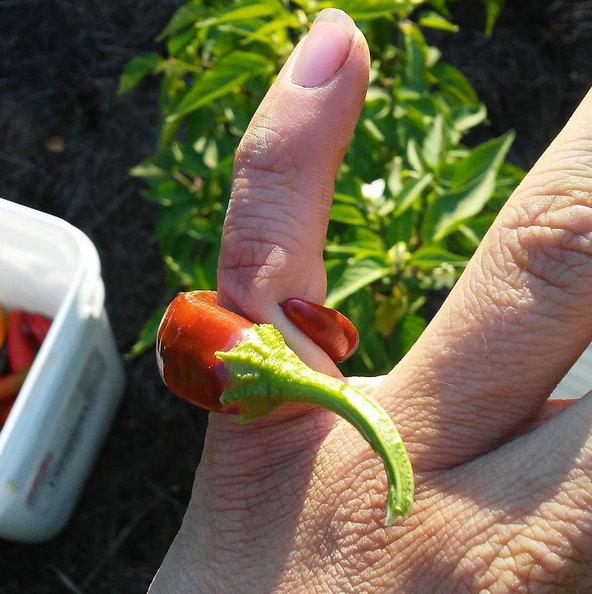 A perfect pepper ring.