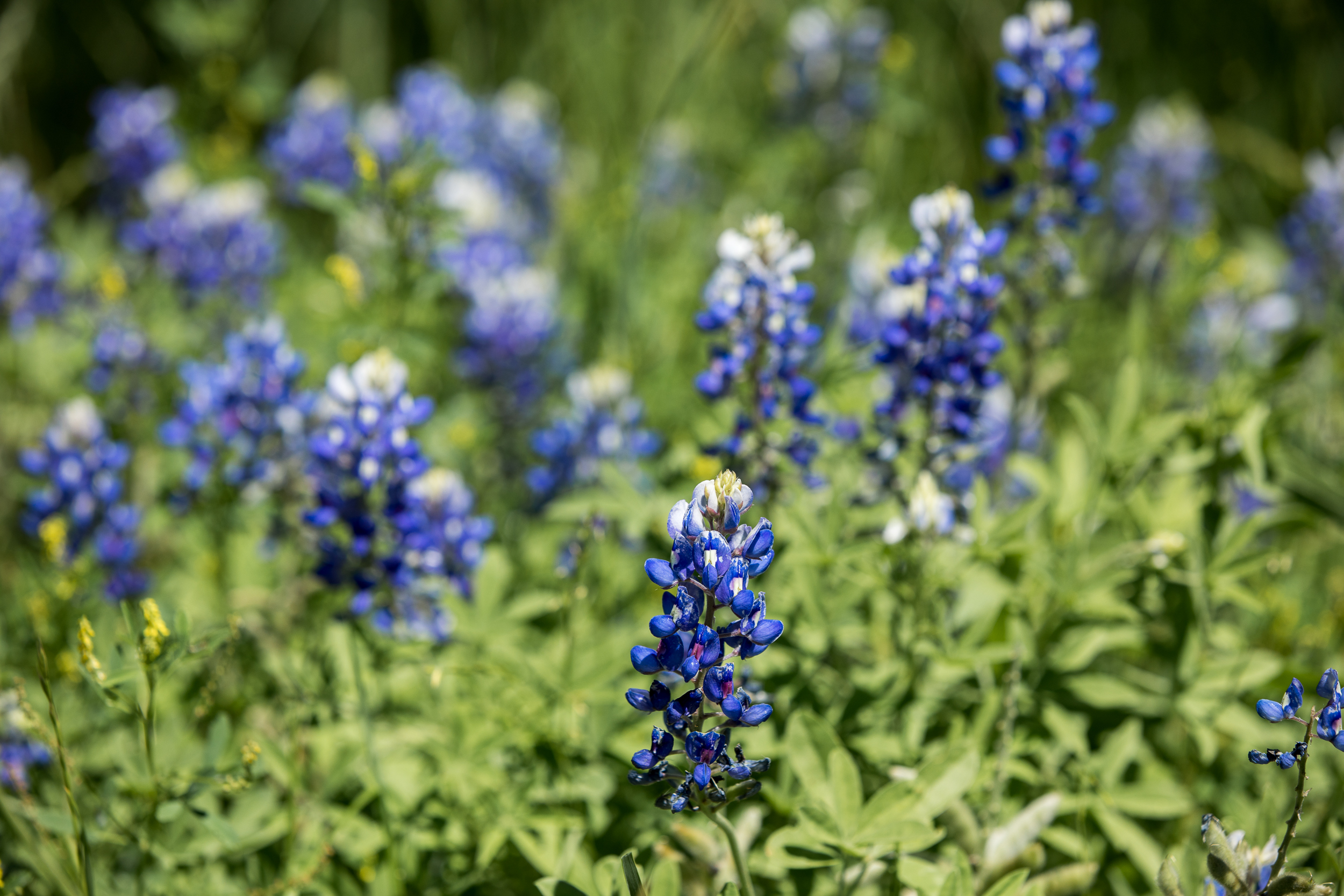 Delicate and beautiful, and a Texas treasure.   Texas Nature Photography