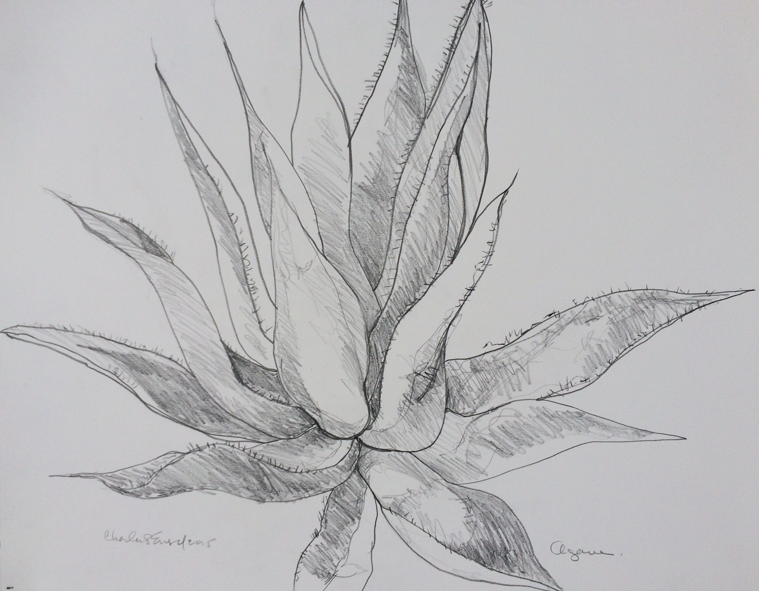 """""""Agave""""  Graphite on Paper"""