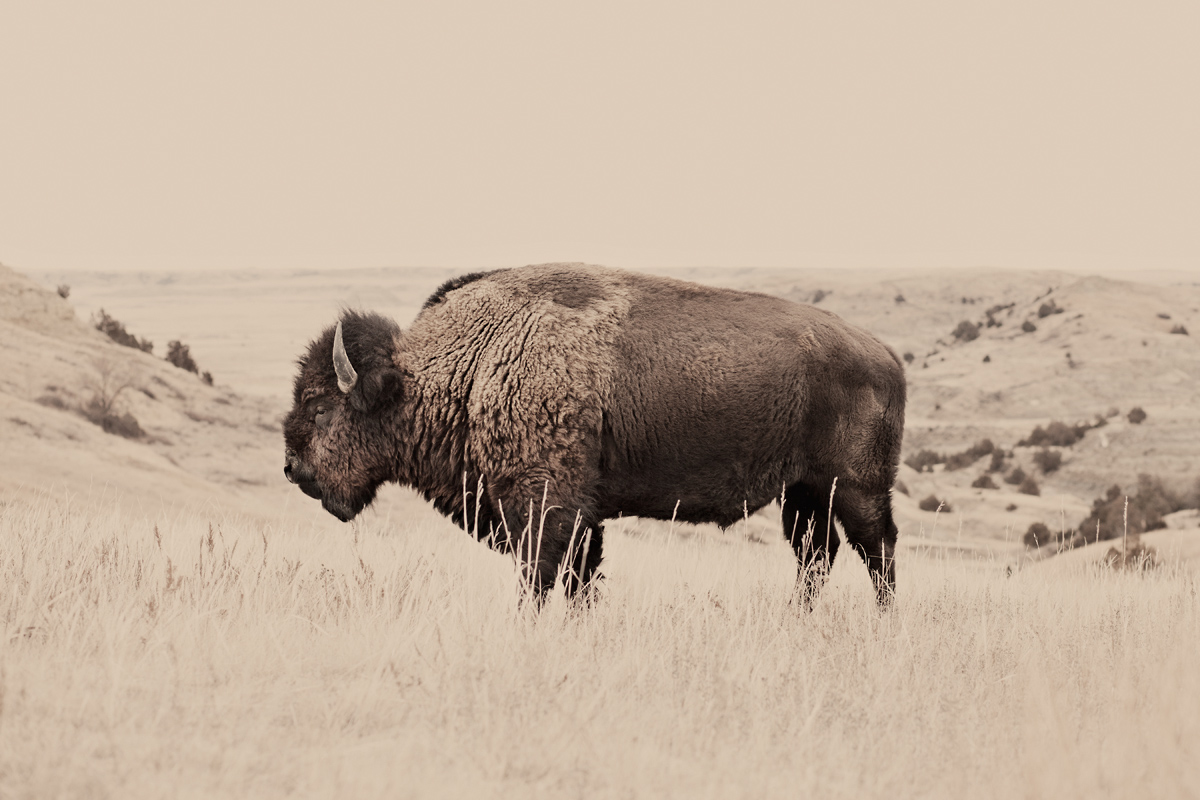 Buffalo, North Dakota. Photo: Troy Moth