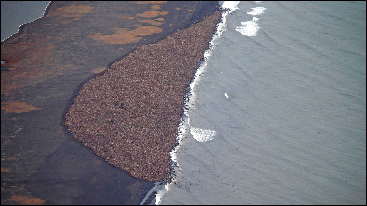 October 2, 2014 - New York Times    In Alaska, Thousands of Walruses Take to Land Read  Article