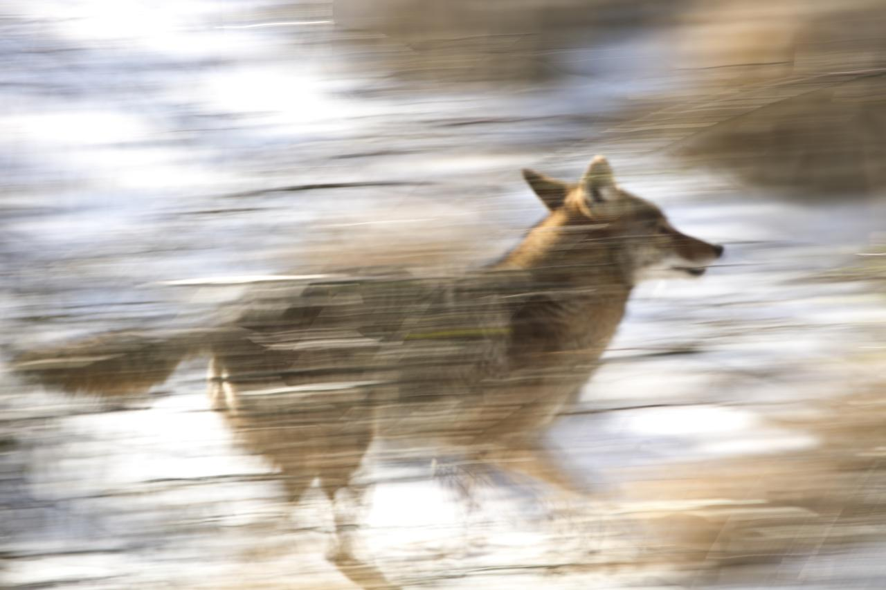 coyote-in-the-reeds_3228793488_o.jpg