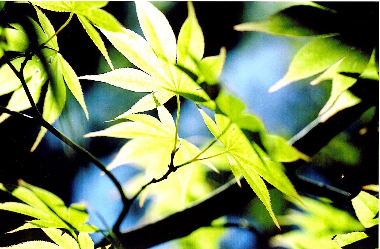 japanesemaple1_768963322_o.jpg
