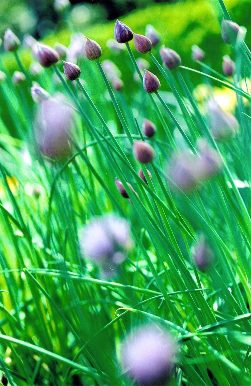 meadowbulbs_768095613_o.jpg