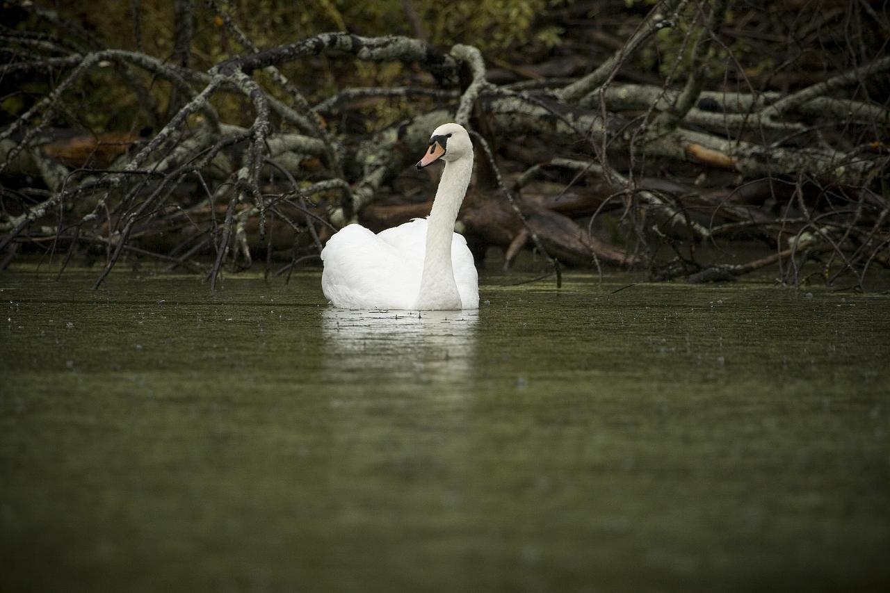 one-solitary-swan_2920172472_o.jpg