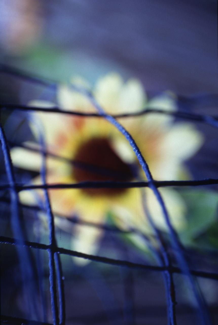 sunflower-curve-2_2964898112_o.jpg