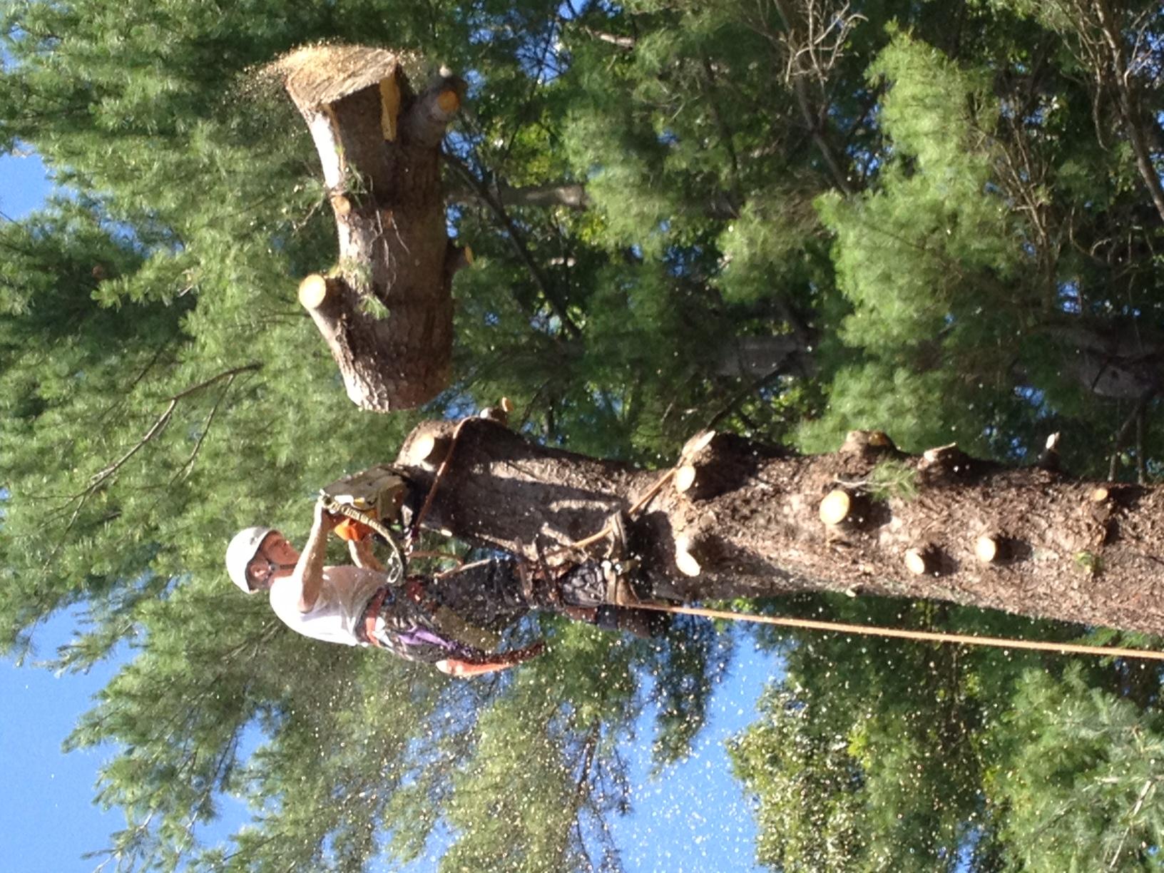 tree climber tree removal