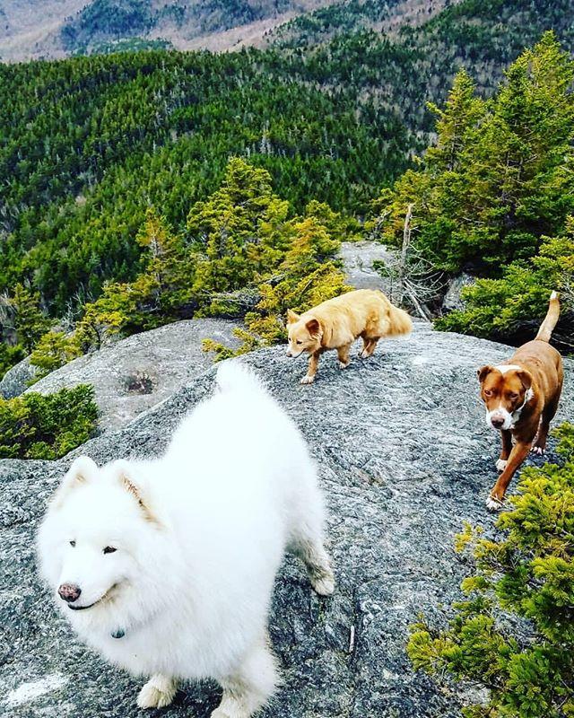 Plan a hike, appreciate your life. Bring a friend or 3 🐕 #govermont⠀ ⠀ ⠀ ⠀ Family fun photo by @calangner ⠀ ⠀ ⠀ #dogsofinstagram #adventuredog #hikingwithdogs #dogsonadventures #dogoftheday #instadog #hikingdogsofinstagram #samoyed #samoyedclub #samoyedlovers #traildog #dogsofinsta #vermont #vermontlife #vermonting #hikevermont #adks #adirondacks #newhampshire #maine #newengland #samoyedlife #hikevt #stowemt ⠀ #stowemt #sugarbush #killington #killingtonmt