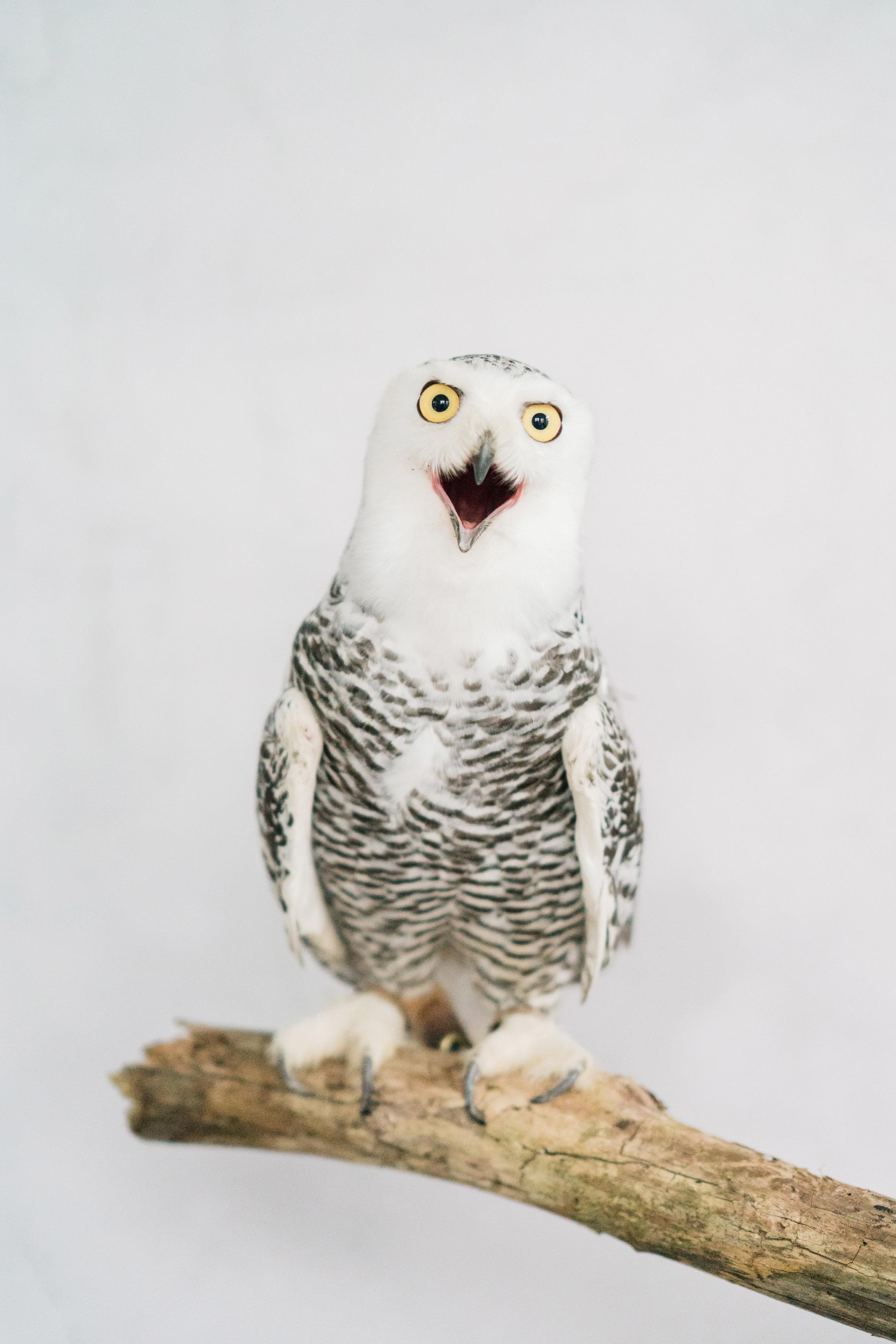 August In Bloom - Owl - Serene Dream (Wedluxe)