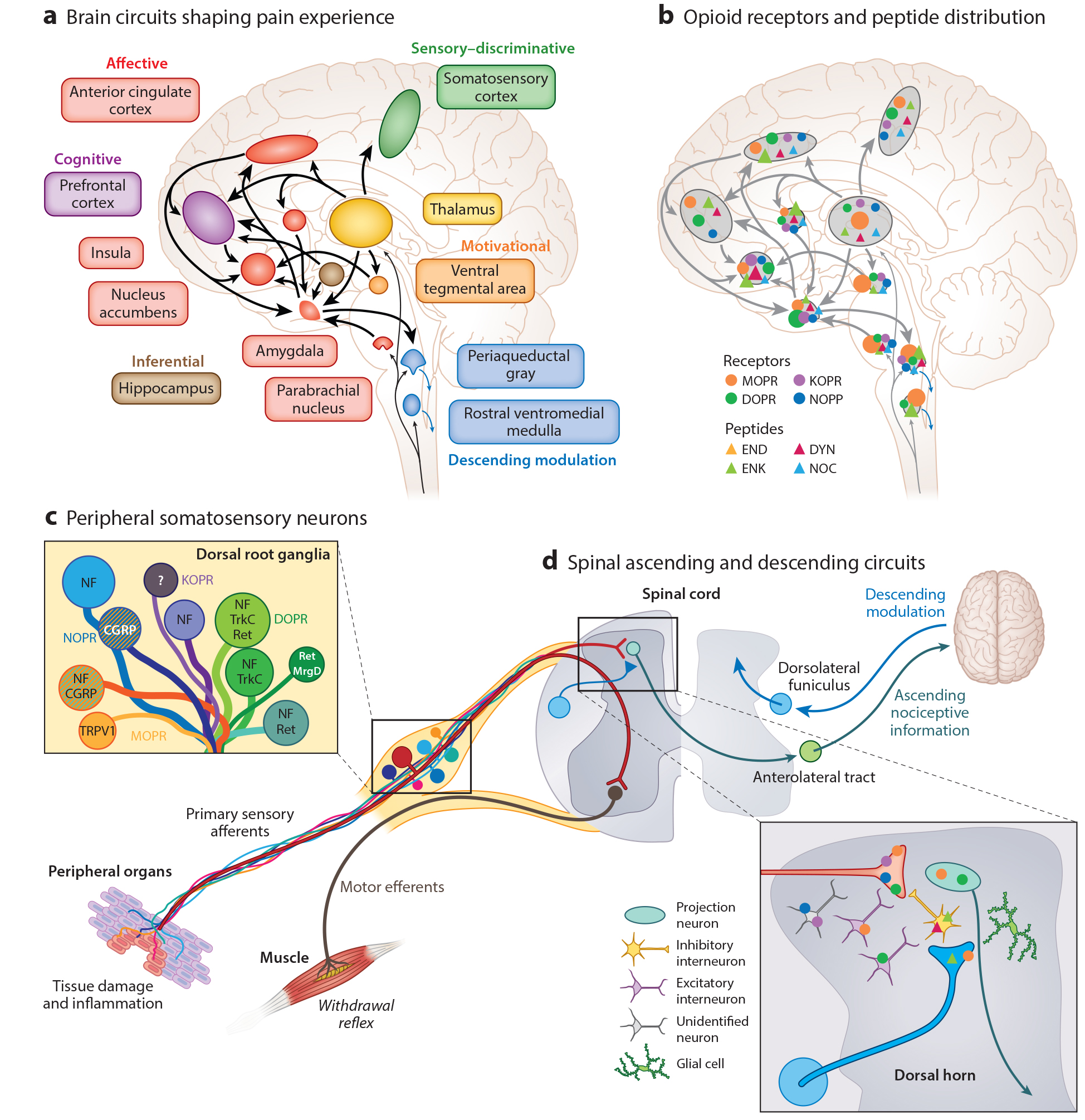 Endogenous and exogenous opioids in pain     Corder, Castro, Bruchas, Scherrer. Annual Review of Neuroscience. July 2018    Opioids are the most commonly used and effective analgesic treatments for severe pain, but they have recently come under scrutiny owing to epidemic levels of abuse and overdose. These compounds act on the endogenous opioid system, which comprises four G protein–coupled receptors (mu, delta, kappa, and nociceptin) and four major peptide families (β-endorphin, enkephalins, dynorphins, and nociceptin/orphanin FQ). In this review, we first describe the functional organization and pharmacology of the endogenous opioid system.We then summarize current knowledge on the signaling mechanisms by which opioids regulate neuronal function and neurotransmission. Finally, we discuss the loci of opioid analgesic action along peripheral and central pain pathways, emphasizing the pain-relieving properties of opioids against the affective dimension of the pain experience.
