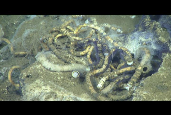 Blue colonial tube-dwelling folliculinid ciliates living on tube-worms in deep-sea methane seep.