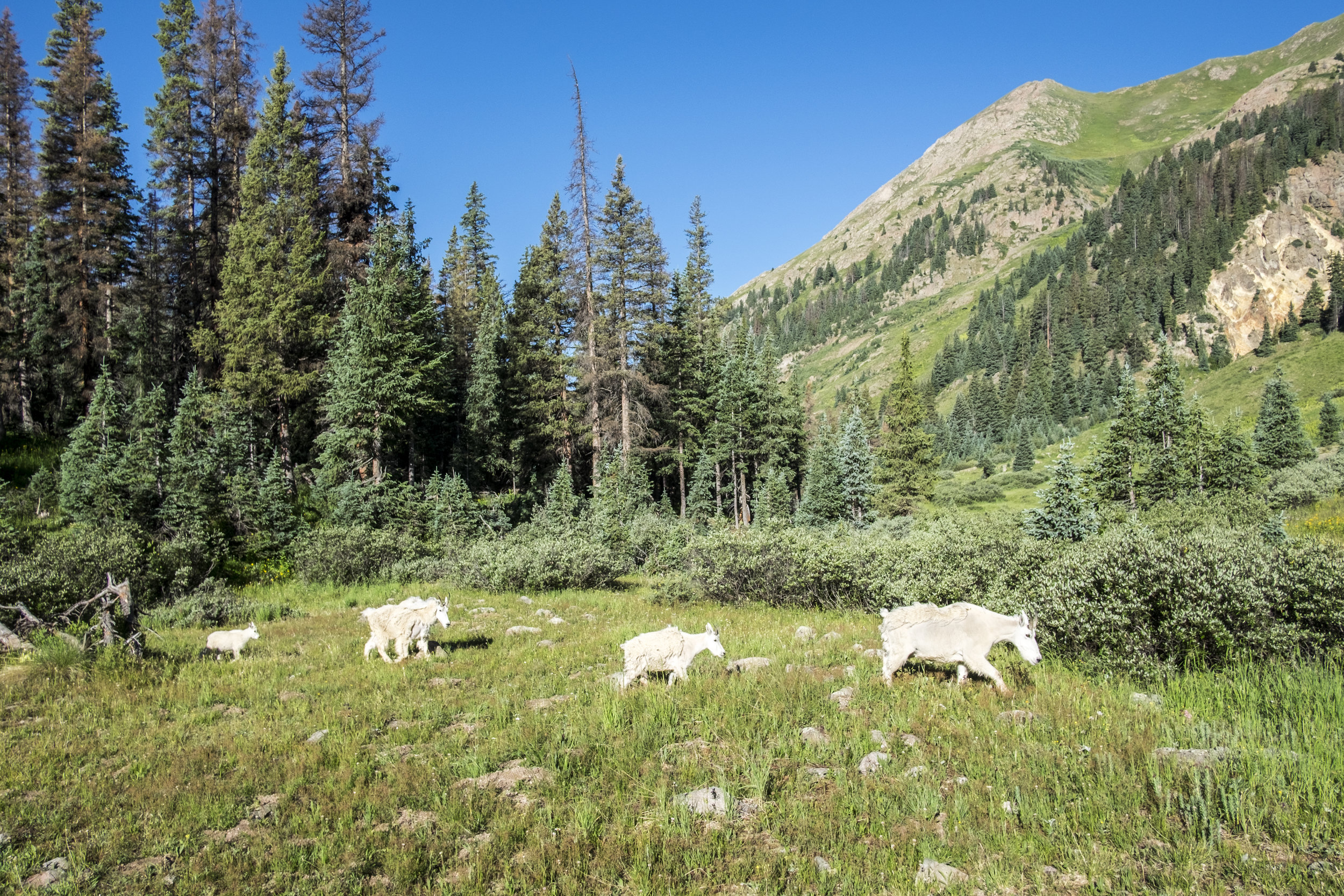 The mountain goats are tenacious. They'll walk right up to you in hopes of getting some salty sweat from your clothing.