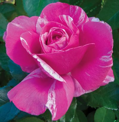Parade Day Rose Pic..jpg