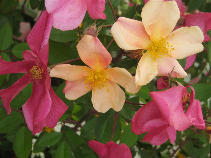 Mutabilis Rose Pic.jpg