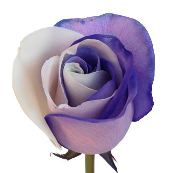Purple-White1-350_fc015fbe.jpg