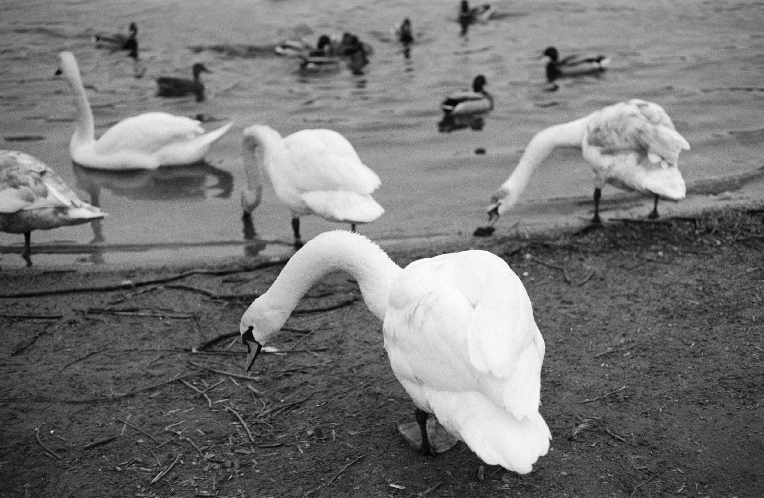 Swans, Vlatva River