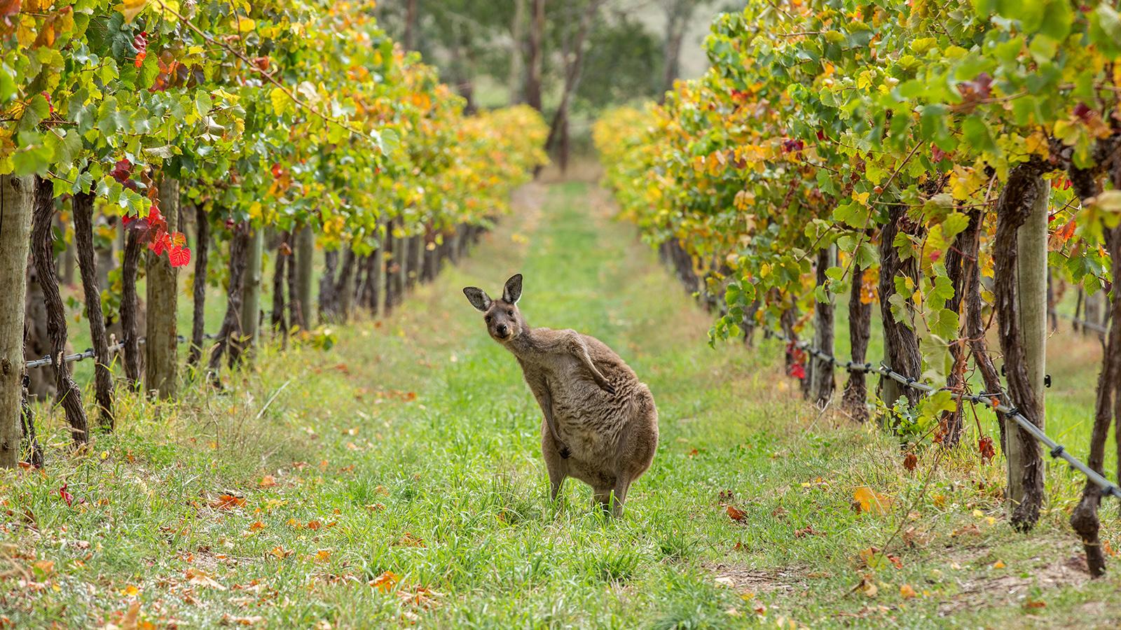 South Australia Wineries & Vineyards -