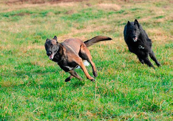 dalsgard_hunder_løpende.jpg