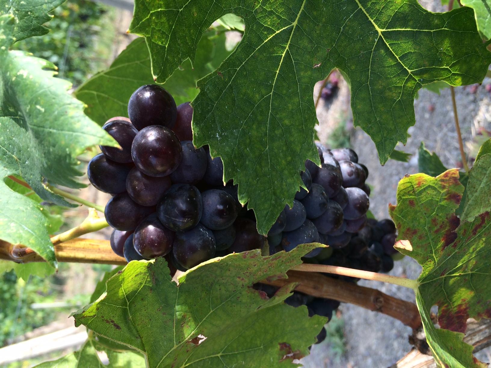 Grapes on the vine at Castiglion Del Bosco