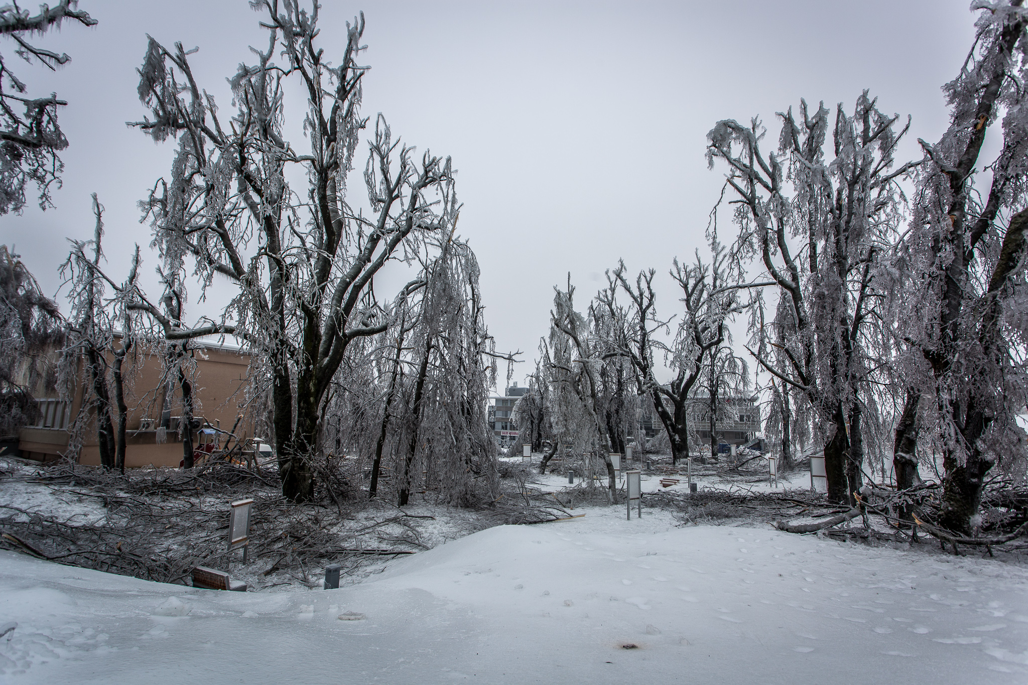 Broken trees in a park, devastated by the weight of ice on the branches.