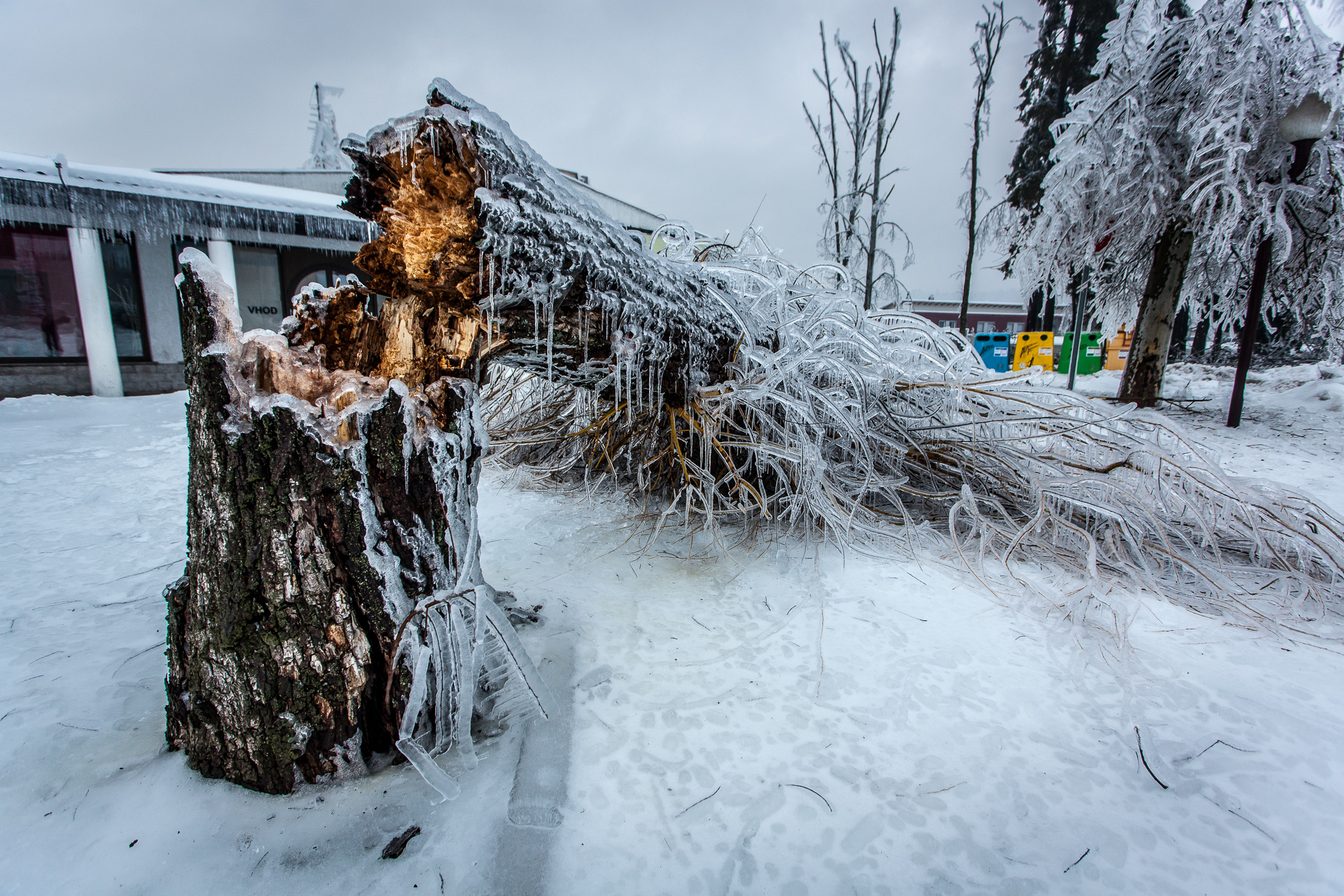 The tree probably fell because of strong wind and weight of ice on the branches.