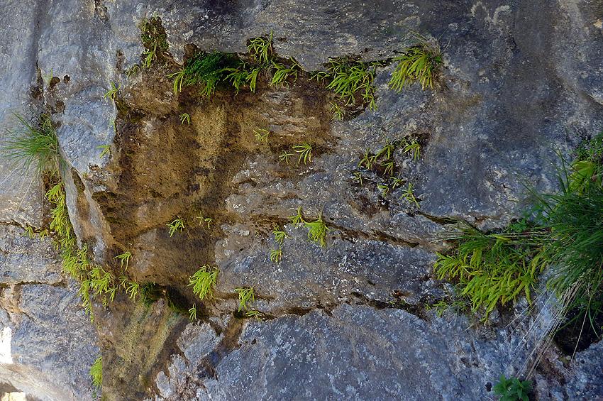 Comunidad de grasilllas aprovechado un rezumadero de agua en la roca caliza     FOTO FGZ